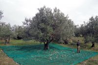 <p>The giant tree with ripe olives</p>
