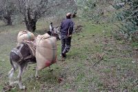 <p>Our donkeys transported up to 160 kg of olives</p>